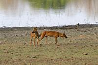 Dholes (Cuon alpinus) or Indian wild dogs near a lake, Tadoba Andhari Tiger Reserve, Maharashtra state, India.