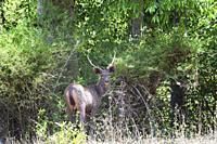 Stag Sambar deer (Rusa unicolor) in the forest, Bandhavgarh National Park, Madhya Pradesh, India.