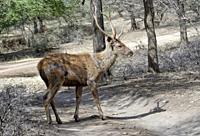Stag Sambar deer (Rusa unicolor), Ranthambhore National Park, Rajasthan, India.