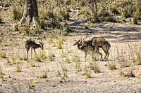 Mating Chital or Spotted deer (Axis axis), Bandhavgarh National Park, Madhya Pradesh, India.