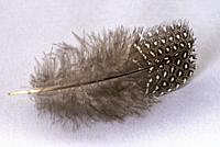 Guinea fowl feather