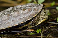 Spanish pond turtle (Mauremys leprosa). Monfrague National Park. Caceres. Extremadura. Spain.