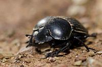 Earth-boring dung beetle (Scarabaeus laticollis). Monfrague National Park. Caceres. Extremadura. Spain.