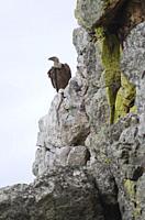 Griffon vulture (Gyps fulvus). Salto del Gitano. Monfrague National Park. Caceres. Extremadura. Spain.