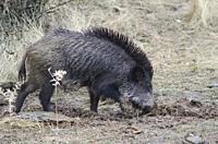 Wild boar (Sus scrofa) rooting. Huerto del Almez. Villareal de San Carlos. Monfrague National Park. Caceres. Extremadura. Spain.