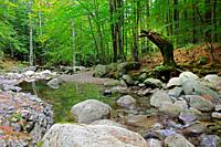 Dense forest with small river im Ravin d'Ajola near Vizzavona, Corsica, France, Europe.