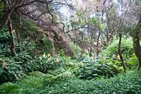 Madeira island Laurisilva forest