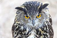 Eurasian owl, or Eurasian eagle-owl. Bubo bubo. This is a captive and tame example and trained to fly in a birds of prey show in Monasterio de Piedra,...
