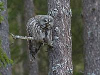 Great grey Owl (Strix nebulosa). Gnesta, Sodermanland, Sweden.