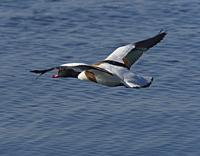 common shelduck (tadorna tadorna). Oland, Sweden.
