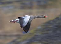 Greylag Goose (Anser anser). Smaland, Sweden.