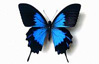 Ulysses butterfly or blue emperor (Papilio ulysses telegonus) is a butterfly native to Indonesia. Adult, dorsal side.