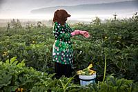 A syrian refugee woman picking zucchini at a lebanese farm at the outskirts of Bar Elias in Bekaa Valley, Lebanon. . Syrian refugees, women and girls,...