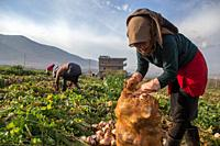 A 13 year old syrian girl picks radishes at a lebanese farm in Bekaa Valley, Lebanon. . Syrian refugees, women and girls, fleeing from war, work on ag...
