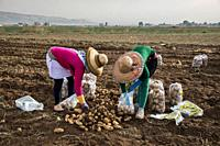 Female syrian refugee packing potatoes at a lebanese farm in Bekaa Valley, Lebanon. . Syrian refugees, women and girls, fleeing from war, work on agri...