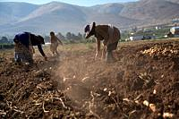 Syrian refugees women and girls picking potatoes at a lebanese farm in Bekaa Valley, Lebanon. . Syrian refugees, women and girls, fleeing from war, wo...
