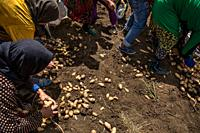 Unemployed women and children syrian refugee pick potatoes without permission in a lebanese farm. . Syrian refugees, women and girls, fleeing from war...