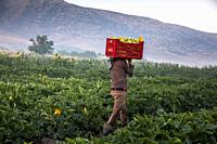 A teenage syrian refugee boy carrying zucchini in a basket at a lebanese farm in Bekaa Valley, Lebanon. . Syrian refugees fleeing from war, work on ag...