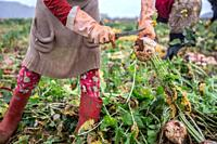 A 10 year old syrian girl picking radishes at a lebanese farm in Bekaa Valley, Lebanon. . Syrian refugees, women and girls, fleeing from war, work on ...
