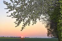 wild cherry tree (Prunus avium), Eure-et-Loir department, Centre-Val-de-Loire region, France, Europe.
