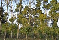 poplars invaded by mistletoe (Viscum album), Park of the Chateau of Rambouillet, Yvelines department, Ile de France region, France, Europe.