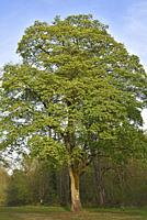 Mapple tree, Park of the Chateau of Rambouillet, Yvelines department, Ile de France region, France, Europe.
