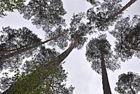 pine tree grove in the forest of Rambouillet, Yvelines department, Ile de France region, France, Europe.