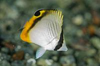 Juvenile Vagabond Butterflyfish (Chaetodon vagabundus), Gemaf dive site, Weda, Halmahera, North Maluku, Indonesia, Halmahera Sea.