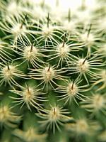 Macro of cactus Echinocereus.