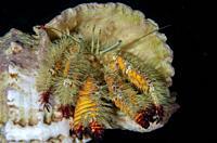 Hairy Yellow Hermit Crab (Aniculus maximus) in shell, Elmoost dive site, Weda, Halmahera, North Maluku, Indonesia, Halmahera Sea.