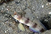 Steinitz' Shrimpgoby (Amblyeleotris steinitzi) with erect fin, Sagea Jetty dive site, Weda, Halmahera, North Maluku, Indonesia, Halmahera Sea.