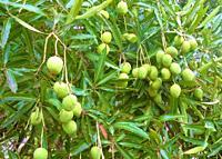 mangoes ripening on tree, Atuona, Hiva Oa, Marquesas, French Polynesia.