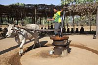 Mill, production of coconut wine, area between Nyaung U and Popa Mountain, Mandalay region, Myanmar, Asia.