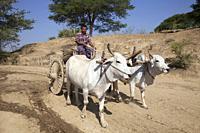 Water transport, country between Nyaung U and Popa Mountain, Mandalay region, Myanmar, Asia.