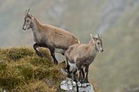 Alpine Ibex ( Capra ibex ) in wild high mountains range, two young animals in typical mountain terrain, wildlife, Swiss alps, Europe. .
