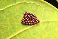 Stink bug eggs, Pentatomidae eggs, Pune, Maharashtra, India. JPG.
