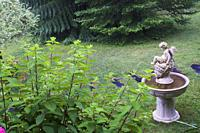Top view of Hydrangea paniculata 'Ruby' shrub and Angel water fountain in residential front yard garden in summer.