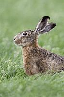 Hare / Brown Hare / European Hare ( Lepus europaeus ) sitting in a meadow, watching attentively, nice side view, wildlife, Europe.