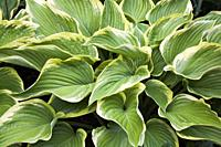 Hosta - Plaintain Lily in border in late spring, Quebec, Canada.