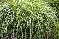 Miscanthus perennial grass plant with water droplets in border in summer, Quebec, Canada.