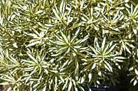 Daphne x burkwoodii 'Moonlight Sonata' - Burkwood daphne shrub in summer, Montreal, Quebec, Canada.