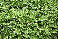 Green and yellow leaf Hosta - Plaintain Lily plants in border in spring, Quebec, Canada.