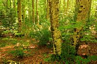 Beech forest on the Mata de Haya route in the Belagua valley. Roncal valley. Navarra.