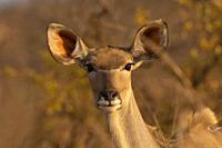 Kudu or Greater Kudu Female, Tragelaphus strepsiceros, Kruger National Park, South Africa.