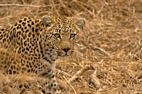 Leopard, Panthera pardus, Kruger National Park, South Africa.
