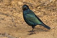 Cape glossy starling, Lamprotornis nitens at Kruger National Park, South Africa.
