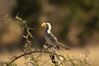 Southern yellow billed hornbill, Tockus leucomelas, Kruger National Park, South Africa.