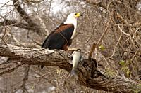 African fish eagle, Haliaeetus vocifer, Kruger National Park, South Africa.