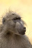Baboon, Papio ursinus, Kruger National Park, South Africa.