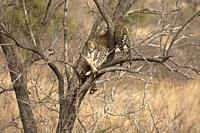 Leopard with pray, Panthera pardus, Kruger National Park, South Africa.
